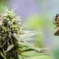 Così i campi di marijuana aiutano a salvare le api