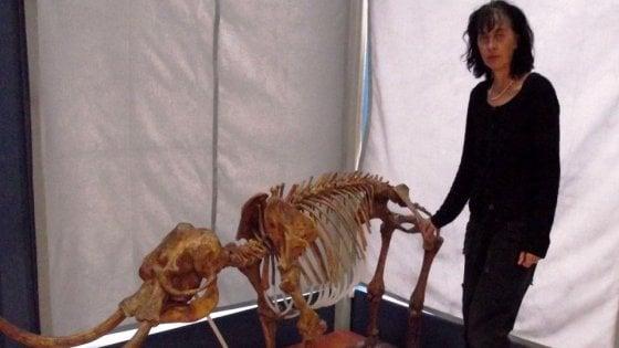 Due le specie di Paleoloxodon, gli elefanti nani della preistoria. Erano grandi come asini