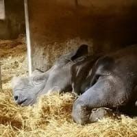 Fame e incuria: così è morto in uno zoo della Francia Jacob, il rinoceronte nero