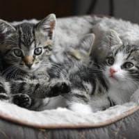 Festa nazionale del gatto: Felix non ha sette vite e non vede al buio. I falsi miti da...