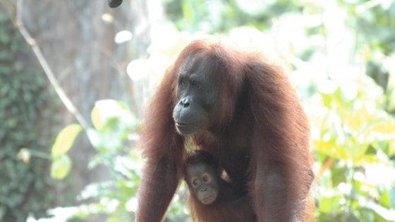 """""""Dammi la mano"""", la foto dell'orango del Borneo che ci ricorda chi siamo"""