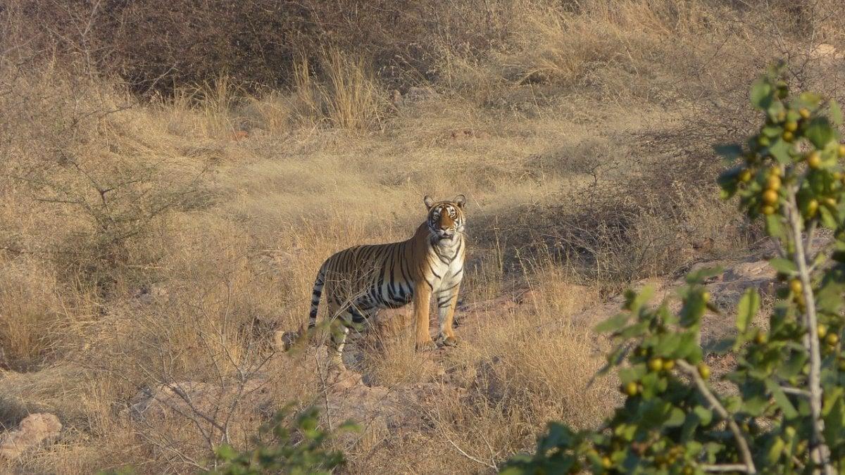 """India, due cuori e una riserva per le tigri. """"Le nostre terre ora sono la loro casa"""""""