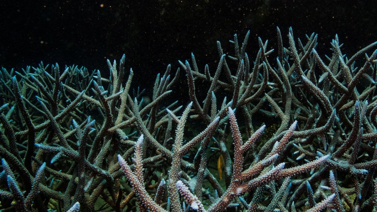 La Grande barriera corallina minacciata da temperature oceaniche più elevate
