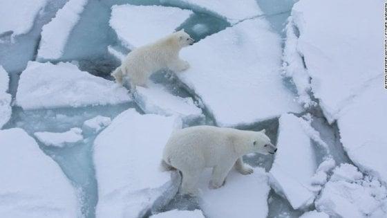 """Orsi polari, aumenta il cannibalismo. """"Affamati a causa dei cambiamenti climatici"""""""