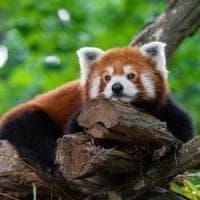 Panda rossi, tutta un'altra specie: lo studio del Dna per salvarli