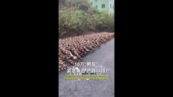 Cina, un esercito di anatre contro le locuste