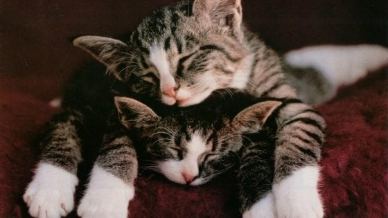 Ecco perché molti gatti hanno i 'calzini' bianchi