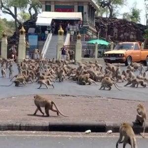 Thailandia, la guerra delle scimmie: senza turisti sono senza cibo