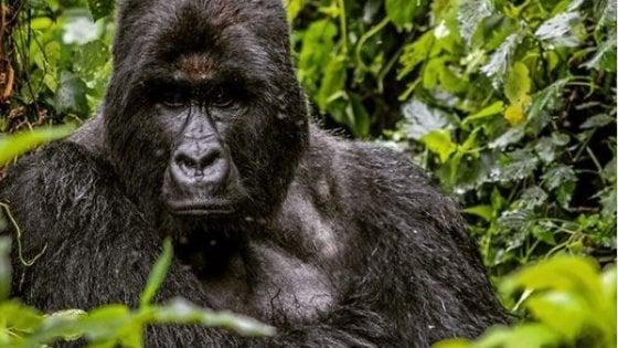 """Coronavirus, in Africa parchi chiusi: """"Gorilla di montagna in pericolo"""""""