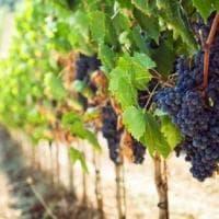 L'enorme biodiversità (vinicola) italiana in un libro
