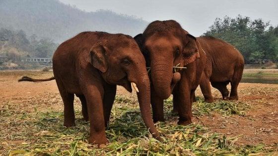 """Coronavirus in Thailandia. Gli elefanti """"da turismo"""" a rischio sopravvivenza: e gli ambientalisti si alleano coi """"camp"""""""