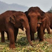 """Coronavirus in Thailandia. Gli elefanti """"da turismo"""" a rischio sopravvivenza: e gli..."""