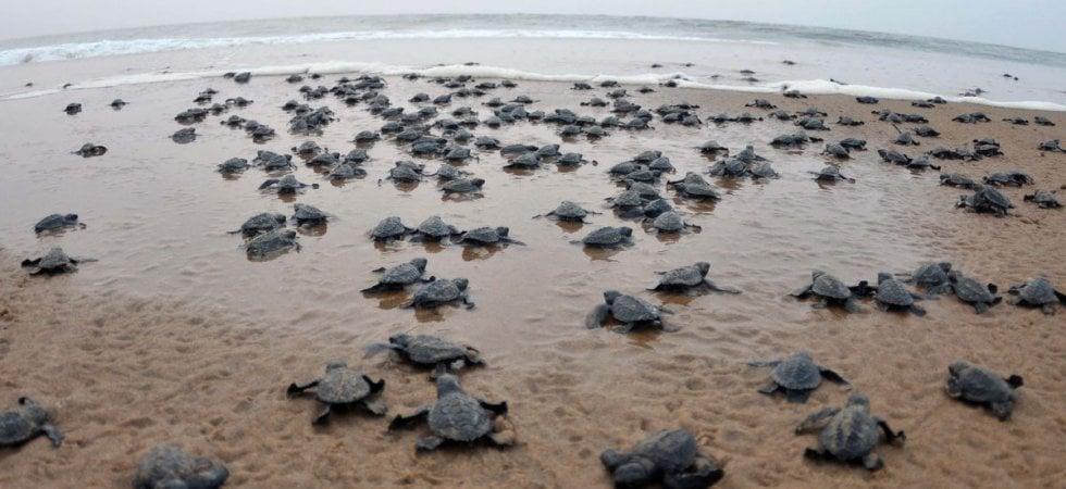 India, migliaia di tartarughe tornano a deporre con una chance in più: niente umani sulla...