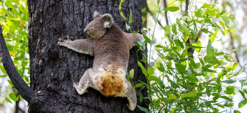 Awen e gli altri: i koala sopravvissuti ai roghi tornano a casa