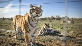 Una tigre positiva allo zoo del Bronx a New York