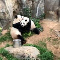 Hong Kong, i due panda giganti si accoppiano dopo 10 anni