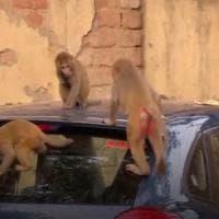 Coronavirus: in India elefanti, scimmie e pavoni occupano le città