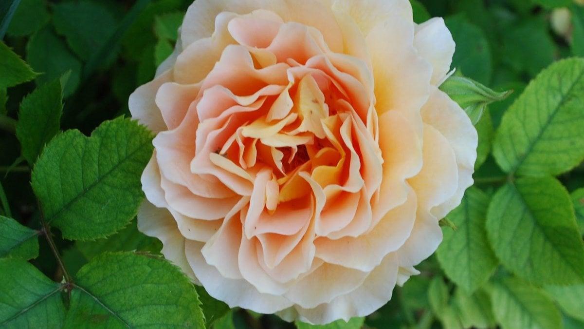 Quante Varietà Di Rose Esistono quella rosa vale un tesoro, ecco i fiori (e le piante) più