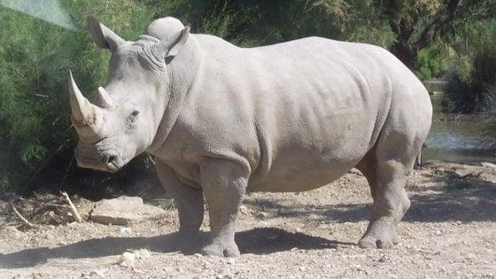 Kenya, un laboratorio italiano salverà il rinoceronte bianco