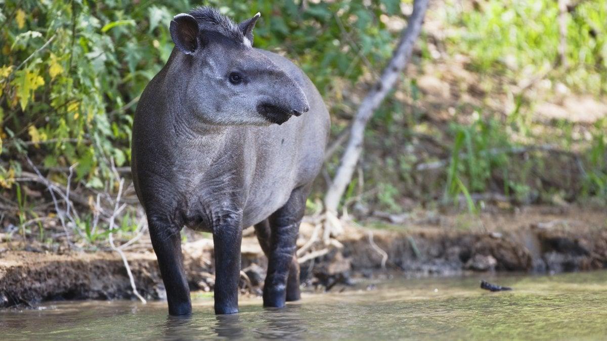 Un premio per il tapiro che salva le foreste
