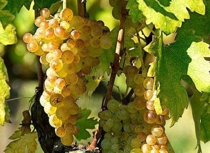 I grandi vini italiani: la Vernaccia di San Gimignano