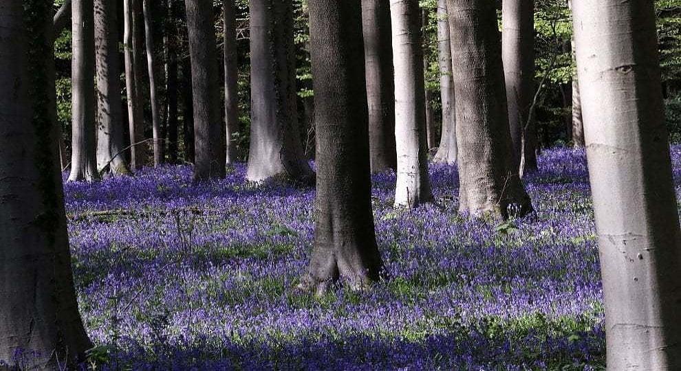 Foto . Belgio, la foresta di Hallerbos mai così blu