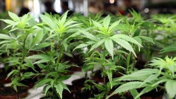 """""""Non hai ancora 19 anni? Sei troppo giovane per la cannabis"""". Ma gli esperti bocciano lo studio"""