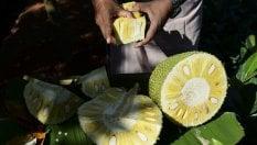 La rivincita della giaca, il frutto indiano che sa di carne di GIACOMO TALIGNANI