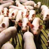 Zootecnia, la proposta: etichettare i prodotti suinicoli in base al metodo di allevamento