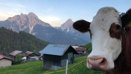 Adotta una mucca (a distanza), è boom: migliaia di richieste