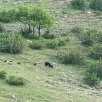 """Parco d'Abruzzo, orsa a spasso con quattro cuccioli. """"Evento eccezionale"""""""