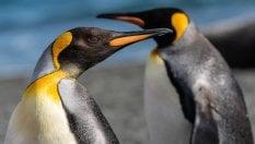 Il guano dei pinguini ricco di gas esilarante