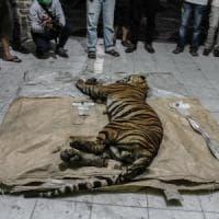 """Indonesia, tigre di Sumatra morta in trappola. Greenpeace: """"Deforestazione fuori..."""