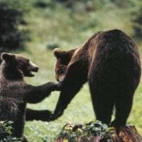 Il Wwf: cerchiamo volontari per tutelare l'orso marsicano