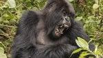 Per i gorilla lo status sociale conta più dell'aspetto fisico
