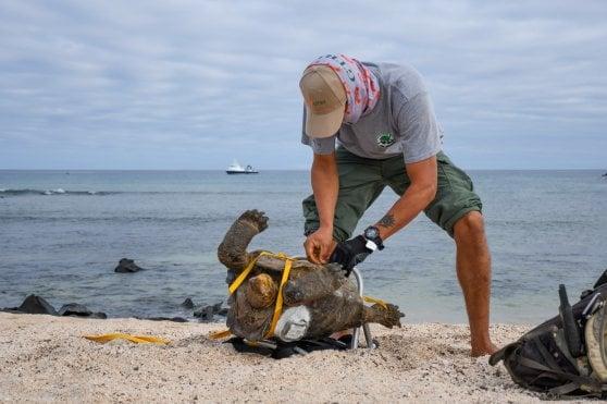 Galapagos: Diego, la tartaruga 'Casanova' va in pensione