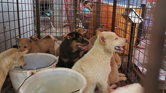 Cina, ultima abbuffata di carne di cane: il coronavirus non ferma il festival di Yulin