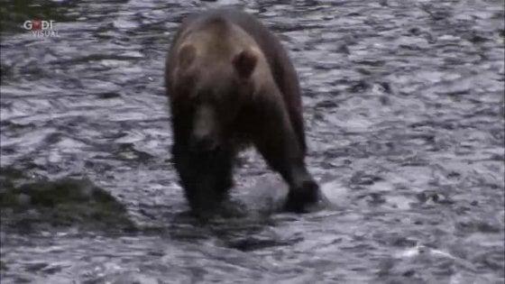 Trentino, sarà abbattuto l'orso che ha aggredito padre e figlio: firmata l'ordinanza