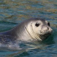 Capraia, l'isola 'chiude' il mare per proteggere la foca monaca
