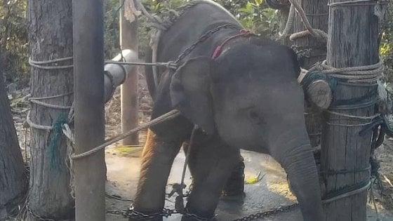 Thailandia, elefantini in catene maltrattati per i turisti: in un video l'addestramento shock