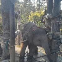 Thailandia, elefantini in catene maltrattati per i turisti: in un video l'addestramento...