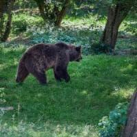 Trentino, raccolte 60 mila firme contro l'abbattimento dell'orso