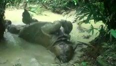 """Avvistato un rinoceronte di Giava: eccolo alle prese con il """"bagnetto"""""""