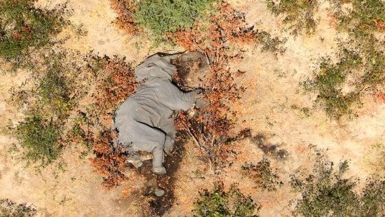 """Il mistero degli elefanti morti in Botswana. L'esperto: """"Cianuro, bracconieri o nuova malattia"""""""