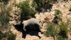 Il mistero degli elefanti morti in Botswana. L'esperto: Cianuro, bracconieri o nuova malattia