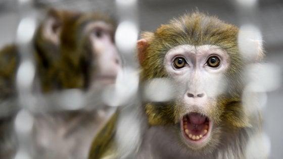 Thailandia, scimmie costrette come schiave a raccogliere noci di cocco. E i supermercati britannici ritirano i prodotti