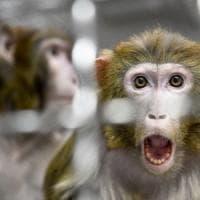 Thailandia, scimmie costrette come schiave a raccogliere noci di cocco. E i supermercati...