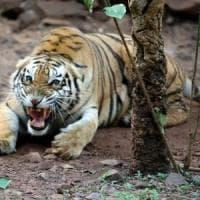 Tigre attacca e uccide la guardiana dello zoo di Zurigo