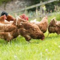 Nel futuro il mangime per pollame sarà a base di insetti