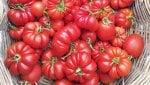 Vita più lunga per i pomodori, senza un gene: lo studio italiano